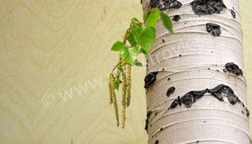 Березовая фанера - наружные слои шпона из берёзы